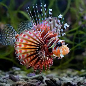 Scorpion Fish by Jeffry Surianto - Animals Fish