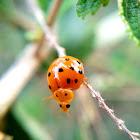 16 spot ladybug