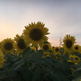 Sunflowers against a Sunset by Kristine Nicholas - Novices Only Flowers & Plants ( macro, sky, nature, colors, green, nature up close, round, yellow, flowers, flower )