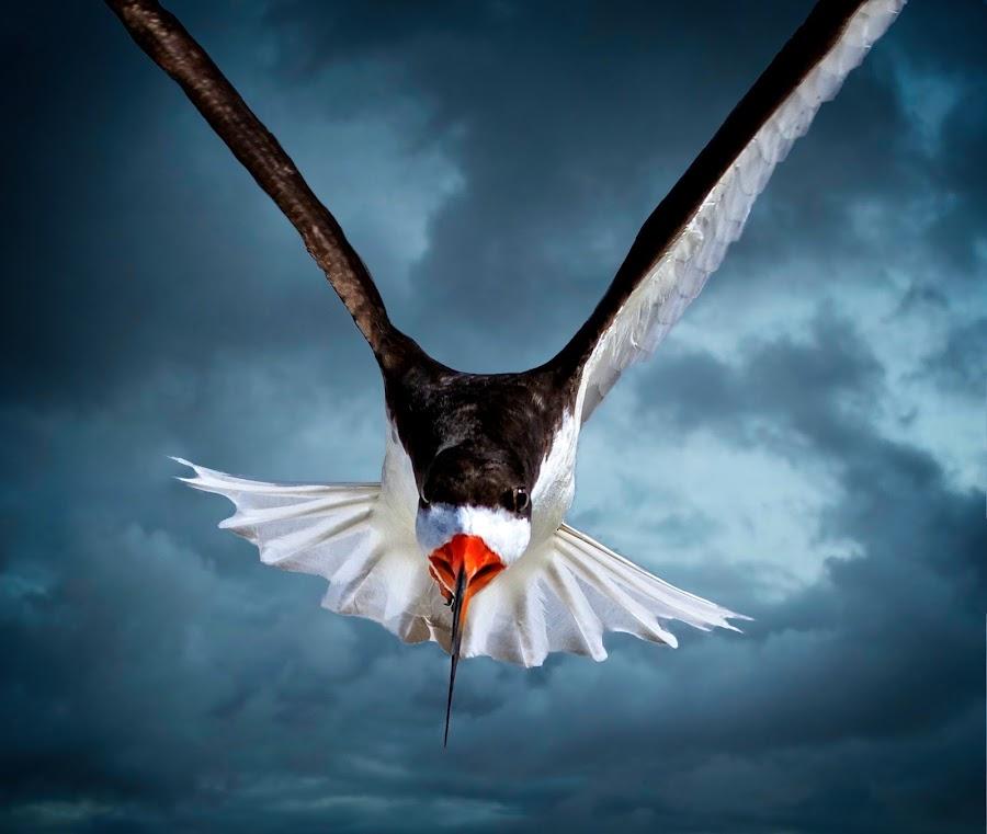 Duck!! by Sandy Scott - Animals Birds ( stormy, animals, skimmer in flight, water birds, stormy skies, sea birds, birds, skies, bird in flight, wildlfie, flight, shore birds, nature, black skimmer, wings, skimmer,  )