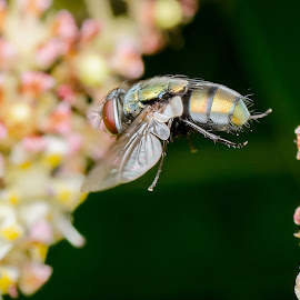 airborne by Daniel Kong - Animals Insects & Spiders ( macro photography, fly, wings, garden, flower )
