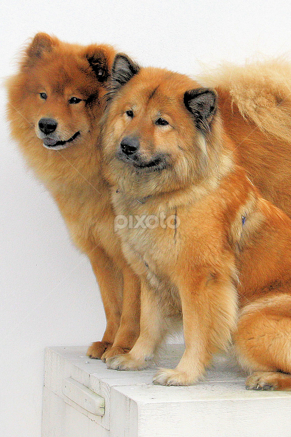Louis and Pamina by Val  Ford - Animals - Dogs Portraits