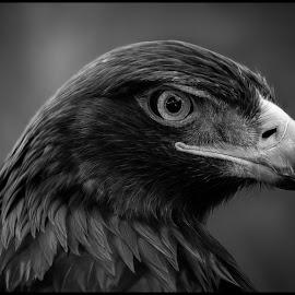 Golden Eagle by Dave Lipchen - Black & White Animals ( golden eagle )