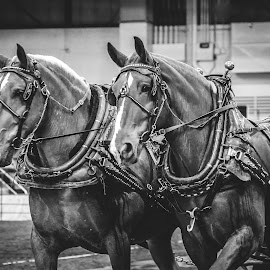 Pulling Team by Alex Rosenkranz - Animals Horses