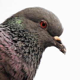 Pigeon portrait by Pradeep Kumar - Animals Birds