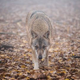 wolf by Tony Hampel - Animals Other