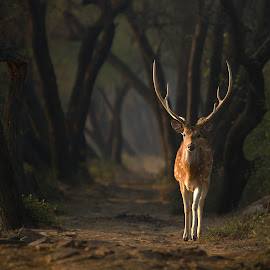 Spotted deer by Pratik Humnabadkar - Animals Other Mammals ( nature, trail, wildlife, india, spotlight, deer )