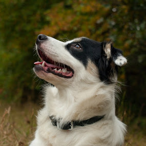 Airplane! by Christy Borders - Animals - Dogs Portraits ( autumn, fall, puppy, australian shepherd, dog )