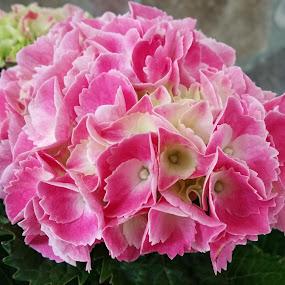 Bright Pink Hydrangeas by Sandy Hogan - Flowers Flower Gardens ( pink flowers, pinks, plants, flower photo, hydrangea, hydrangea plants, flowers, flower photography,  )