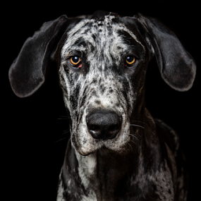 Pepper by Freddie Meagher - Animals - Dogs Portraits ( studio, flash, headshot, pet, dog, great dane, portrait, animal )