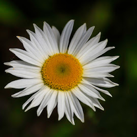 Daisy by Jeff McVoy - Flowers Single Flower ( floral, single, white, one, yellow, daisy, wild, petals, flower,  )