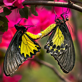 butterfly mating by Toni Panjaitan - Animals Other ( butterfly )