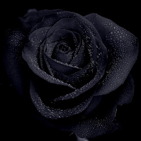 Black Rose by Mike Neal - Nature Up Close Flowers - 2011-2013