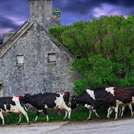Walking the cows home for milking  by Gerald Horgan - Animals Other ( animals, dingle, ireland, european, europe, farmer, cattle, single peninsula, rural, cows )
