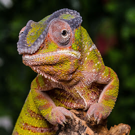 Chameleon by Garry Chisholm - Animals Reptiles ( garry chisholm, lizard, nature, reptile, chameleon )