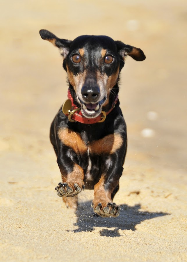 Jumpin'Jonathan by Lisa Bibko-Vanderhoop - Animals - Dogs Portraits ( dogs, pets, dachsund, beach )