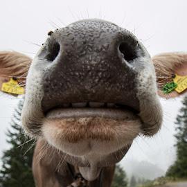Curious cow by Twan Konings - Animals Other ( macro, fog, trees, cow, austria, closeup, alps, mist )