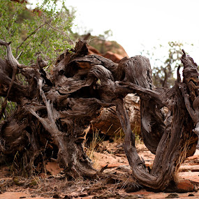 Beauty in Death by Garrett Dyer - Nature Up Close Trees & Bushes ( desert, stump, tree, roots, dead )