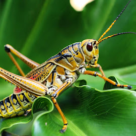 A Lubber Grasshopper by Anthony Goldman - Animals Insects & Spiders ( wild, florida, tampa, lubber, insect, grasshopper )