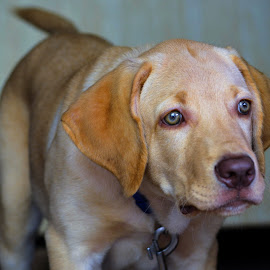 Fawn Labrador Pup by Diliban P - Animals - Dogs Puppies ( look, pet, puppy, fawn, dog, labrador, lab, bruno, closeup )