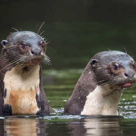 Giant Otters by Phyllis Plotkin - Animals Other Mammals ( mammals, water, ecuador, river otters, river, amazon )