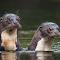 Two River Otters-2photoshopcloneresize1700.jpg