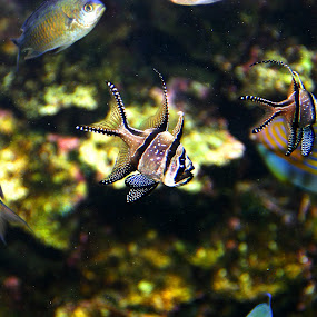 Aquarium Fish by Marsha Biller - Animals Fish ( aquarium fish,  )