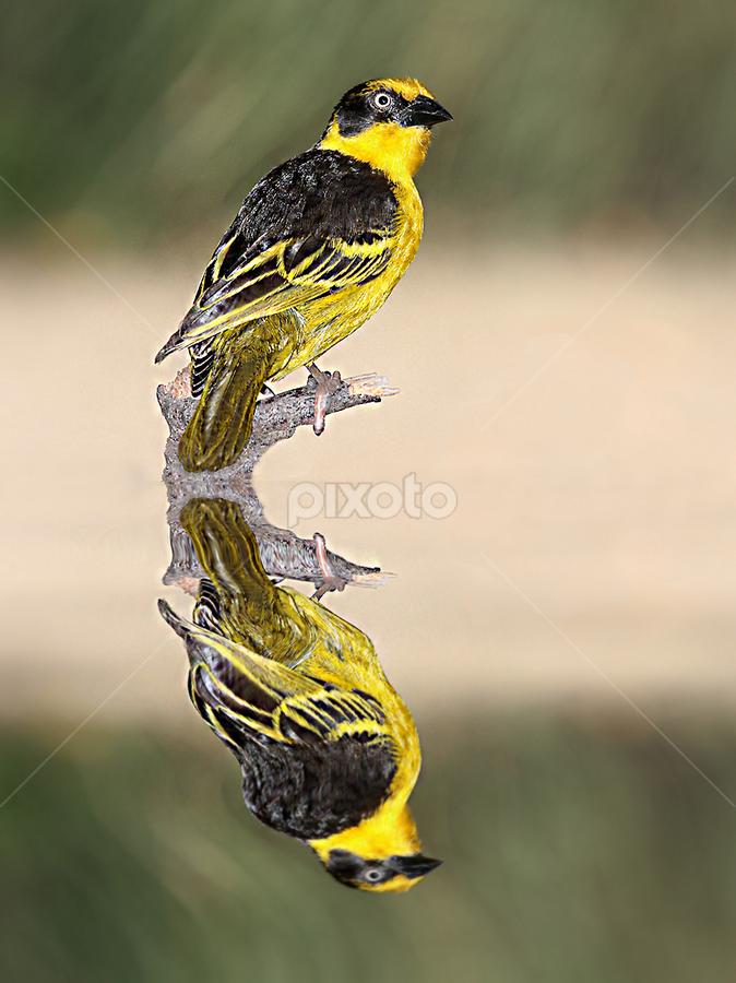 Tisserin by Gérard CHATENET - Animals Birds (  )