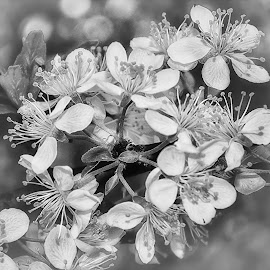 by Manuela Dedić - Black & White Flowers & Plants