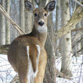Another Deer by Lillican Phaedra - Animals Other