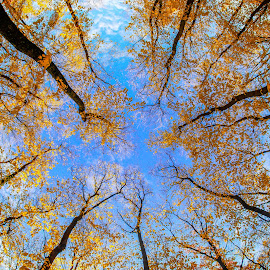 Golden leaves by Diana Toma - Landscapes Forests ( autumn, blue, forest, gold, leaves )