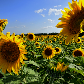 A Field of Sunshine by Kent Moody - Landscapes Prairies, Meadows & Fields ( blue sky, green, sunflowers, yellow, flowers,  )