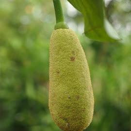 Tolangtong Tongtolang by Dedi Sukardi - Nature Up Close Gardens & Produce