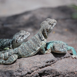 On the Rocks by Angel Harvey - Novices Only Wildlife ( geckos )