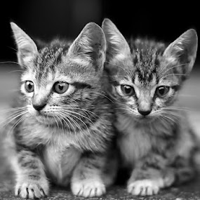 twin by Yuliani Liputo - Animals - Cats Kittens ( pwcbabyanimals-dq )