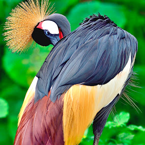 Grooming crane. by Francois Wolfaardt - Animals Birds (  )