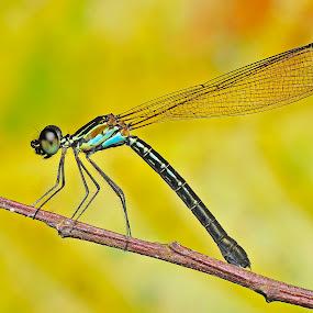 True color by Pak Lang - Animals Insects & Spiders ( macro, pulau pinang, micro, malaysia, nikon, insect, dragonfly, paklang,  )