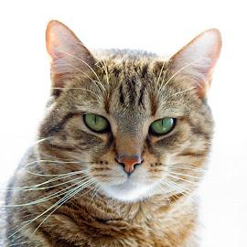 Green Eyes by Scott Stolsenberg - Animals - Cats Portraits ( tan fur, green eyes, cat, milo, pet )