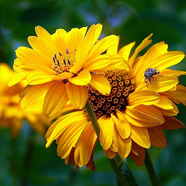 FALSE SUNFLOWER by Wojtylak Maria - Flowers Flower Arangements ( false sunflower, yellow, insect, garden, flower, heliopsis )
