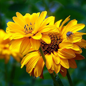 FALSE SUNFLOWER by Wojtylak Maria - Flowers Flower Arangements ( false sunflower, yellow, insect, garden, flower, heliopsis,  )