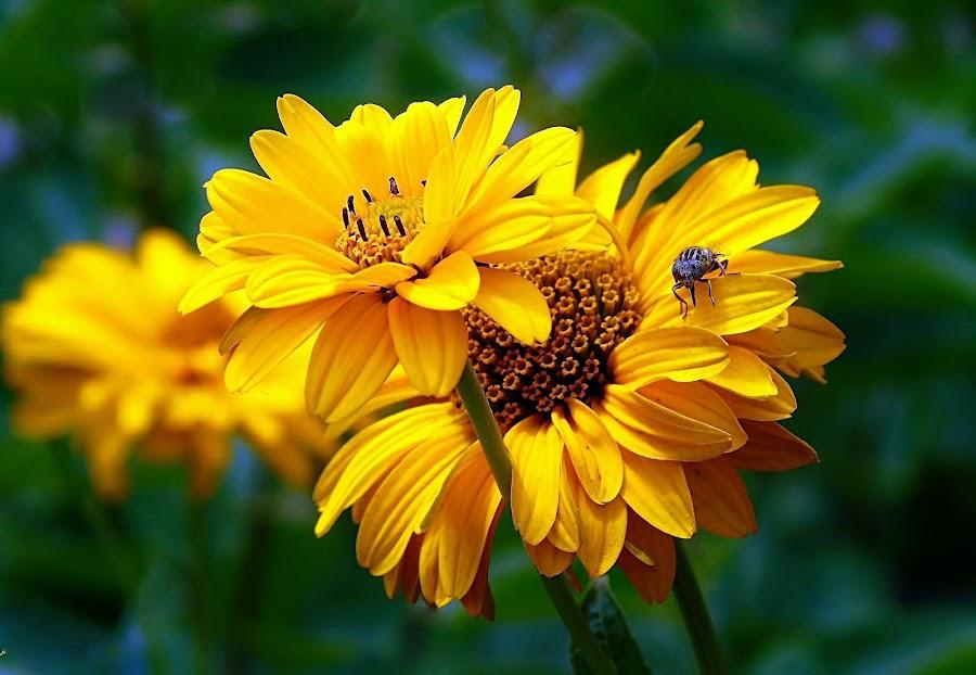 FALSE SUNFLOWER by Wojtylak Maria - Flowers Flower Arangements ( false sunflower, yellow, insect, garden, flower, heliopsis,  )