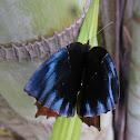 Wavy Common Palmfly