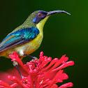 Luzon sunbird