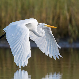 Great Egret by Carl Albro - Animals Birds ( bird, flying, heron, bif, great egret )