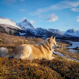 Guard by Elisabeth Sjåvik Monsen - Animals - Dogs Portraits ( northern, winter, nature, dog, coast, norway,  )