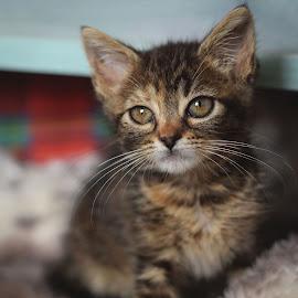 Kitty by Eglė Eglė - Animals - Cats Kittens ( kitten, cat, big eyes, shelter, cute, tabby )