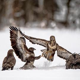 Goshawks by Stanley P. - Animals Birds