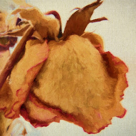 Beauty of a dried rose by Glenda Clausen - Digital Art Things ( rose, dried, delicate, flower, soft )