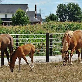 Amish Farm by Yvonne Collins - Animals Horses