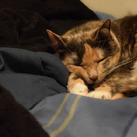 Nap Time by Aeriel White - Animals - Cats Portraits ( calico, time, cat, nap, color, sleeping )